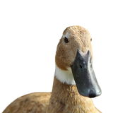 Duck portrait over white background Stock Photo