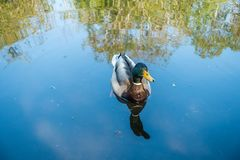 Duck Portrait Royalty Free Stock Photos