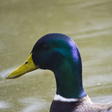 Duck portrait Stock Photo