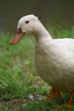 Duck Portrait. A white female duck walking through the grass after a rainstorm Royalty Free Stock Images