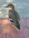 Duck Posing Purple Feathers stock photos