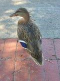 Duck Posing Purple Feathers stockfotos