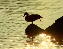 Duck posing at sunset stock photo