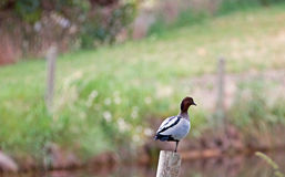 Duck on post near pond in Drouin Victoria Australia. AUS stock photo