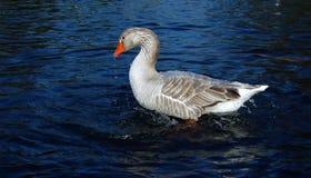 Duck preening in blue water. Side view of duck preening in blue water of lake or river stock photography