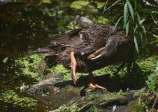Duck Preening Feathers op Zijn Onderkant dichtbij een Vijver royalty-vrije stock afbeelding