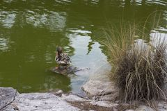 A duck preening near a pond stock images
