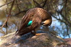 A duck preening by a pond. Royalty Free Stock Photography