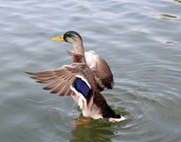 Duck, preparing to fly stock photos