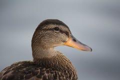 Duck Profile Photographie stock libre de droits