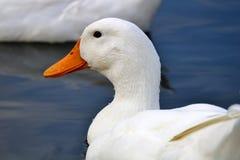 Duck Profile Foto de Stock