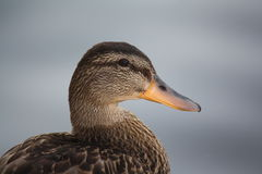 Duck Profile Royalty Free Stock Photography