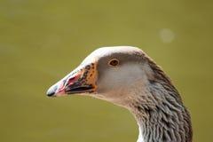 Duck Profile. Closeup profile of an orange-billed duck Stock Photography