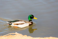 Duck in profile floats cleaving the smooth surface of the water Stock Images
