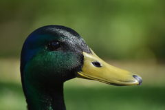 Duck Profile. Profile of a Male Mallard Duck Stock Image