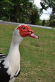 Duck in profile. A male muscovy ducks head in profile royalty free stock image