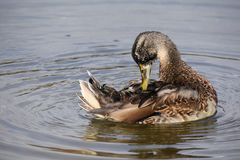 A duck pruning itself. A duck prunes itself in a lake in Dublin Royalty Free Stock Images