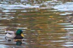 Duck in a public park. A duck in Central park & x28;Stadtpark& x29; in Vienna, Austria Stock Image
