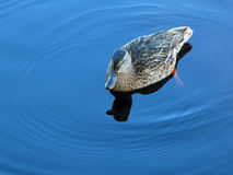Duck on pure blue water Royalty Free Stock Photos