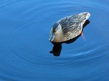 Duck on pure blue water. Bohemian Forest, Czech republic, EU Royalty Free Stock Photos