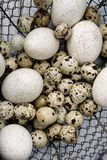 Duck and Quail Eggs Stock Photo