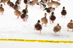 Duck Race. Group of wild ducks running to cross the finish line in a winter cold day Stock Images
