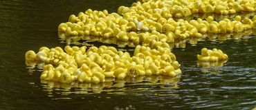 Free Duck Race On The River Stock Photography - 155259962