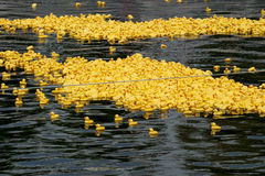 Duck race start Royalty Free Stock Images