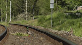 Duck on railway track in sunny day Royalty Free Stock Image