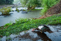 Duck in the rain Royalty Free Stock Images