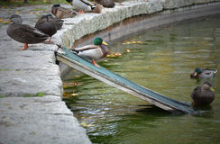 Duck Ramp Stock Photos