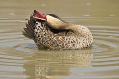 Duck, Red-billed Teal - Wild Game Bird Background from Africa Stock Images