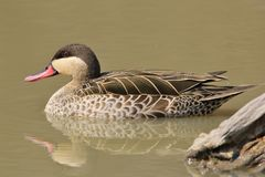 Duck, Red-billed Teal - Wild Game Bird Background of Beauty - from Africa Stock Photography