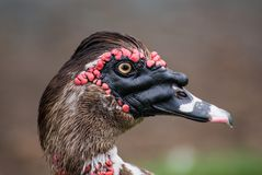 Duck with red face Royalty Free Stock Images