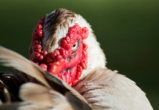 Duck with red face. Looking Royalty Free Stock Image