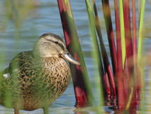 Duck Among the Reeds. Duck resting in shallow water among tropical Reeds Stock Images