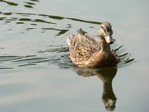Duck Reflection. In pond, swimming toward viewer Royalty Free Stock Images