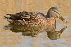 A duck with reflection royalty free stock image
