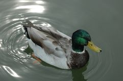Duck and Reflections. Mallard Duck with reflections on lake Stock Image