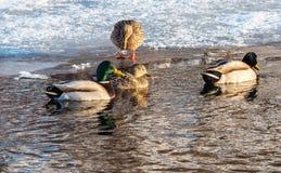 Duck Reflections Fotografía de archivo