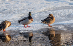 Duck Reflections Image stock