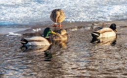 Duck reflections. Mallard ducks in the river swimming Stock Photography
