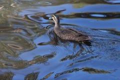 Duck Reflections in Water royalty-vrije stock afbeelding