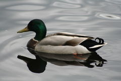 Duck reflects Royalty Free Stock Photography