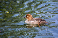 Duck. This is a relatively small specimen with a short neck. Color females - mottled gray-brown. The male has a dark green head with pearlescent, white body with Royalty Free Stock Photos