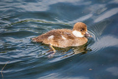 Duck. This is a relatively small specimen with a short neck. Color females - mottled gray-brown. The male has a dark green head with pearlescent, white body with Stock Images