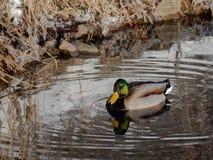 Mallard Duck relaxing in a pond in winter-Stock photos. A male duck relaxing, in winter, in a pond Stock Image