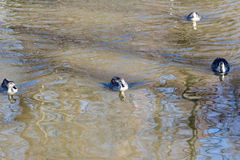 Duck relaxing on the pond. In winter Royalty Free Stock Photos