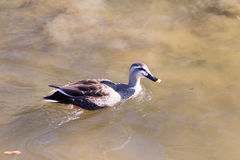 Duck relaxing on the pond. In winter Royalty Free Stock Image