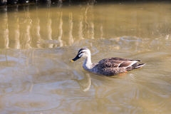 Duck relaxing on the pond. In winter Stock Image